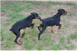 Picture of a Doodleman Pinscher Puppy