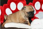 Picture of Adorable Pug Puppy. Sweet Male