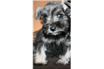 Picture of a Miniature Schnauzer Puppy