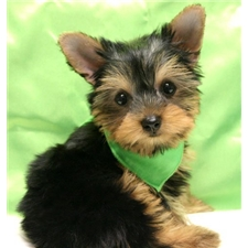 View full profile for Toy &  Teacup  Yorkies