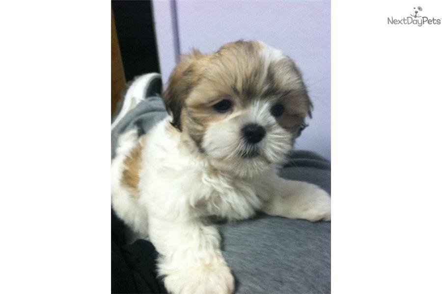 Nicky Shih Tzu Puppy For Sale Near New York City New York