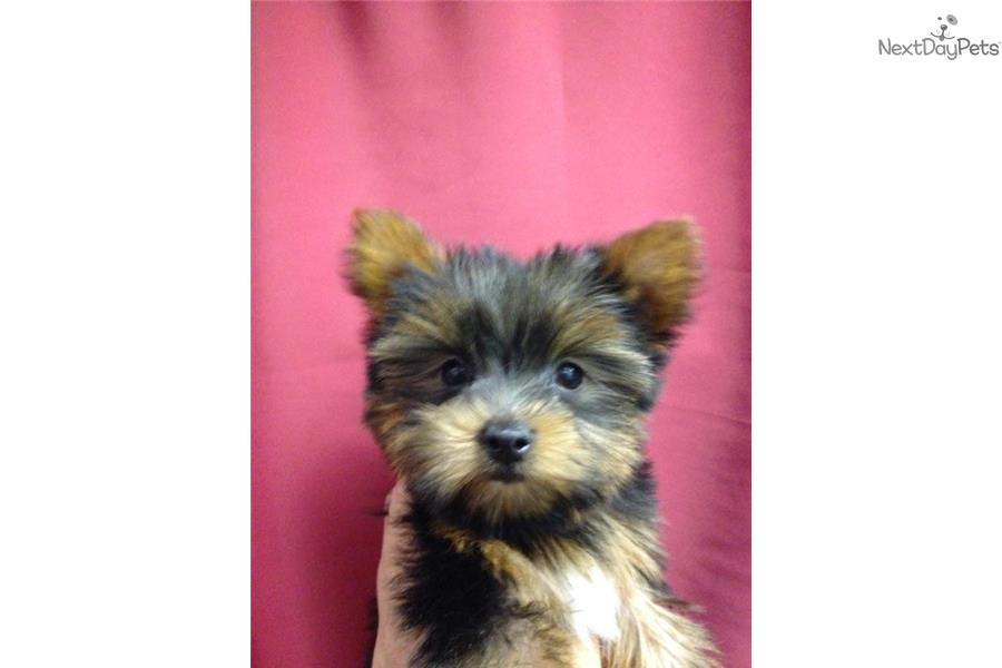 Terry: Yorkshire Terrier - Yorkie puppy for sale near New