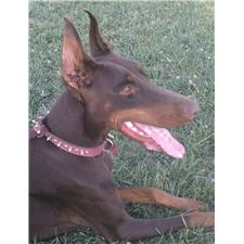 View full profile for Casa Del Los Angeles Dobermans
