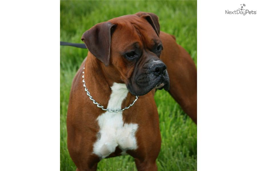 Meet Female A Cute Boxer Puppy For Sale For 1 200 Akc