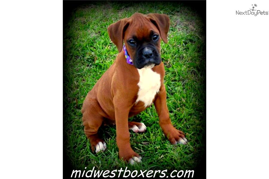 Boxer Puppy For Sale Near Omaha Council Bluffs Nebraska