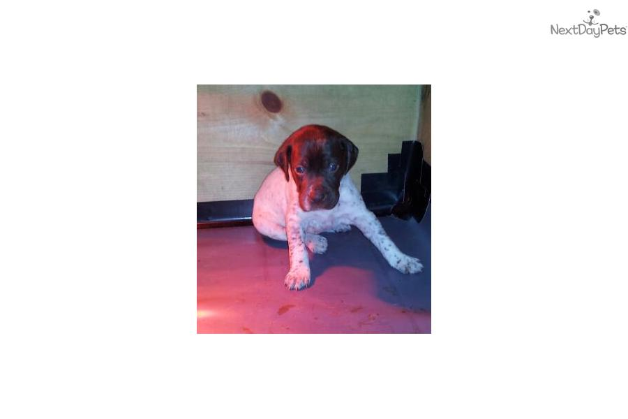 Picture of a Braque Francais (French Pointer)