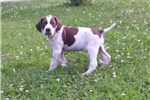 Picture of Male Braqu Francais puppy for sale - 7 weeks old