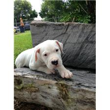 View full profile for dogo argentino of miami