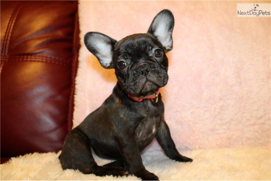 French Bulldog Puppies For Adoption In Houston Texas