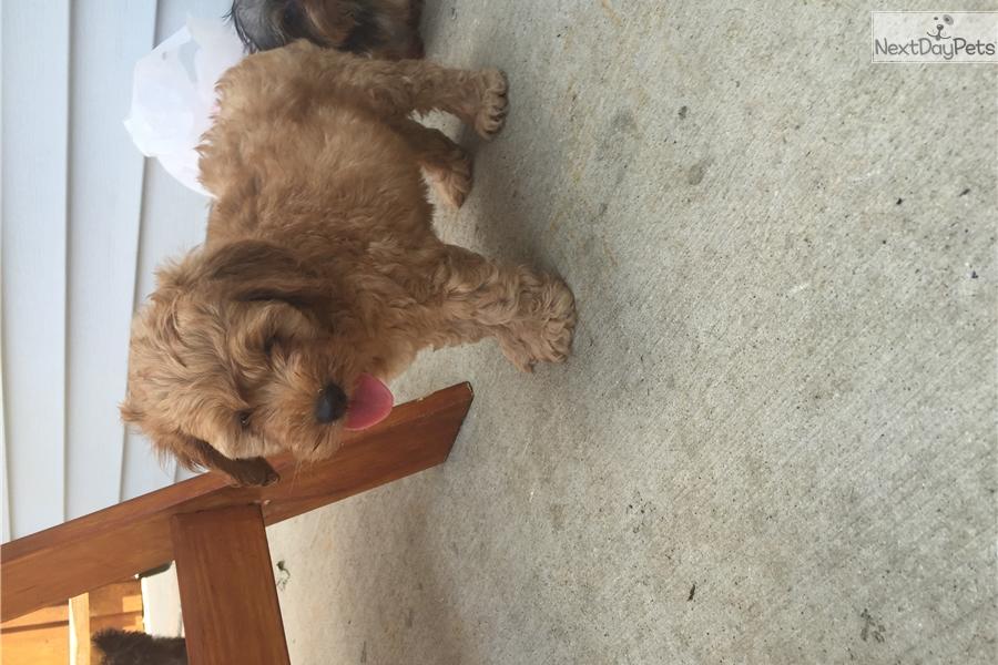 Cavapoo puppy for sale near Chicago, Illinois | 3fda286d-8a61