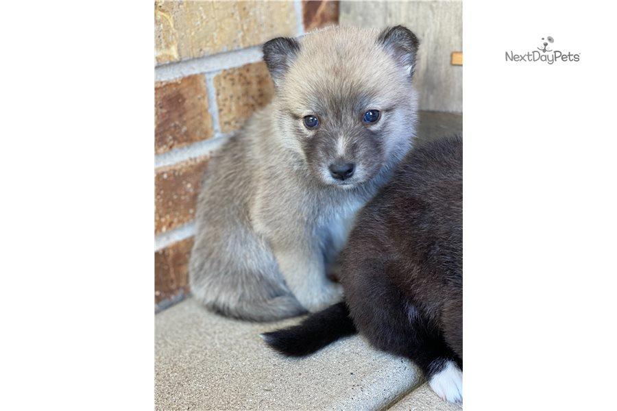 Pomsky Pups: Pomsky puppy for sale near Chicago, Illinois ...