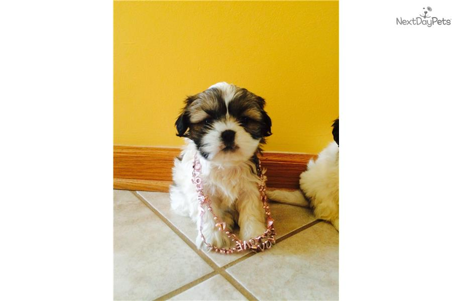 shih tzu for sale chicago shih tzu puppy for sale near chicago illinois 08d52988 89d1 9958
