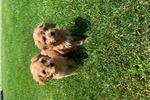 Picture of Cavapoo puppies