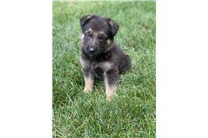 Picture of German shepherd