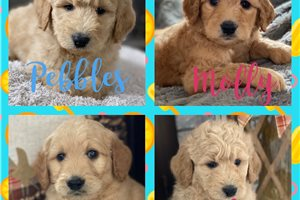 Picture of Goldendoodle