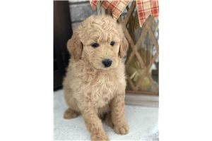 Picture of Goldendoodle pup