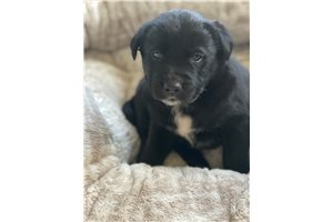 Picture of Lab mix