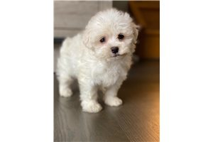 Picture of Maltese puppies