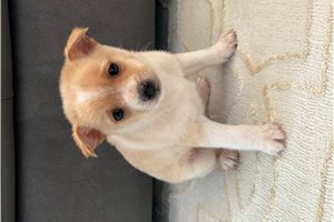 Picture of Pomchi male