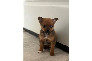 Picture of Pomchi puppies