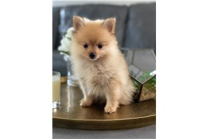 Picture of Pomeranian male