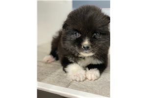 Picture of Pomsky male