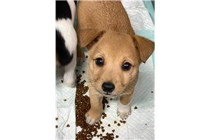 Picture of Rat terrier mixe