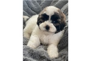 Picture of Shipoo puppies