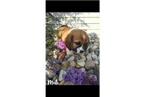 Picture of Bea tzu puppies