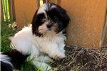 Picture of Shih tzu shihtzu puppies