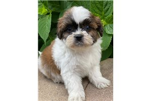 Picture of Shorkie
