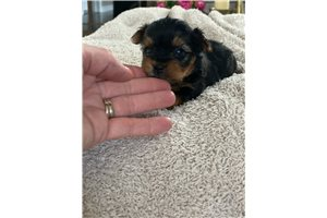 Picture of AKC Yorkie