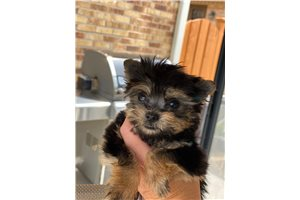 Picture of Yorkie puppies