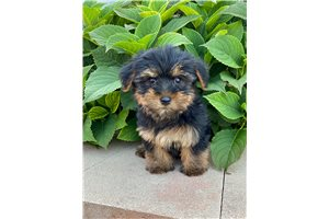 Picture of Yorkie pups