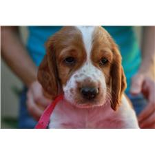 View full profile for Welsh springer