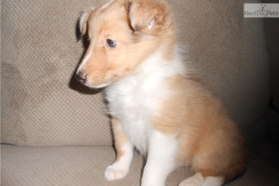 Simba: Shetland Sheepdog - Sheltie puppy for sale near ...
