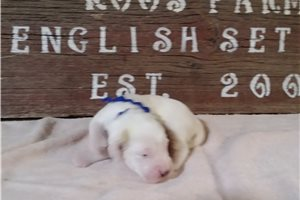 English Setters for sale