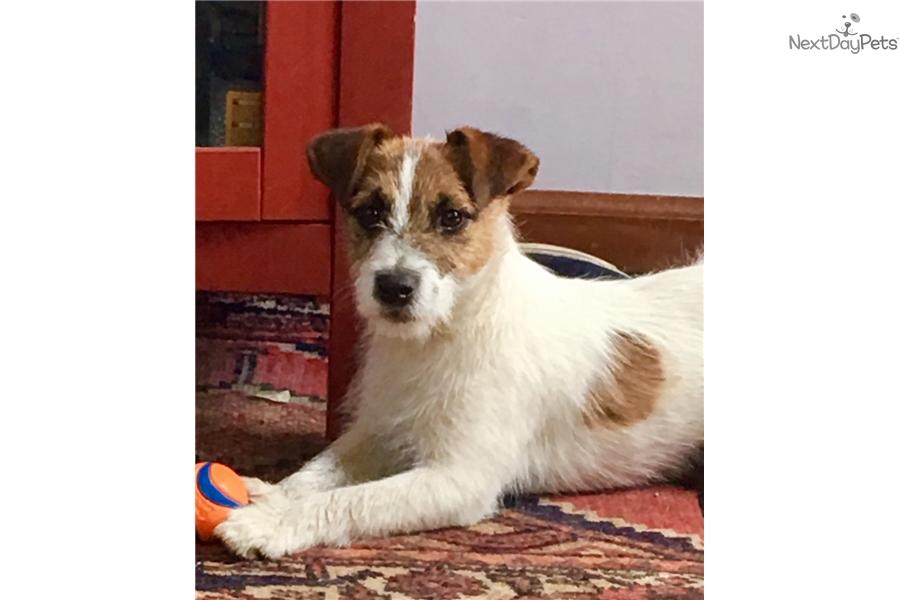 Ranger Jack Russell Terrier Puppy For Sale Near Western