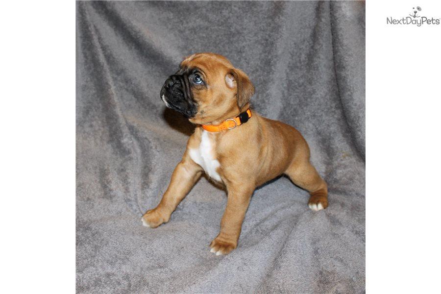 Boxer Puppy For Sale Near Maine 9026701d 0c51