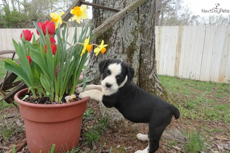 English Boodle Puppy For Sale Near Knoxville Tennessee