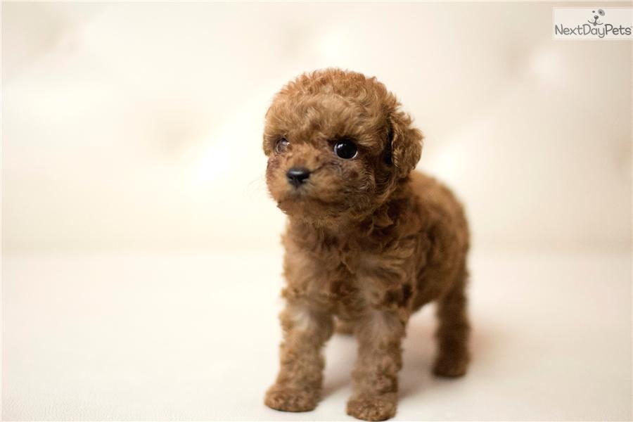 A Cute Teacup Female Poodle Poodle Miniature Puppy For