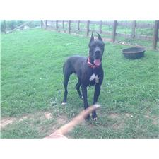 View full profile for Britt Great Danes