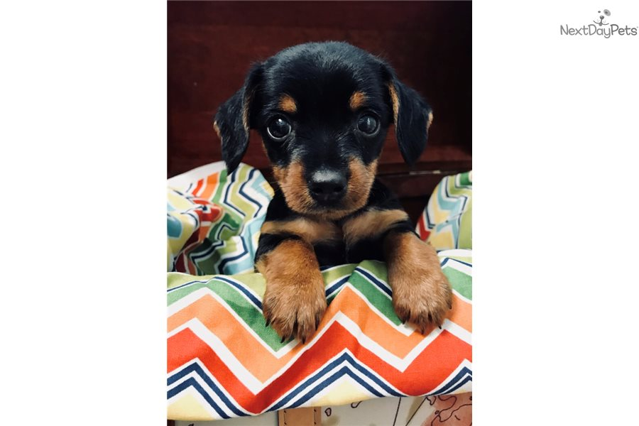 Harold: Dachshund, Mini puppy for sale near Hattiesburg ...