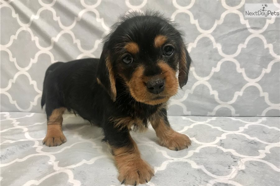 Clunkers Dachshund Mini Puppy For Sale Near Hattiesburg