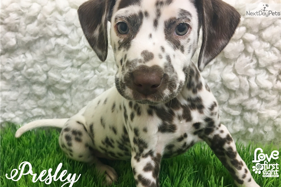 Presley Dalmatian Puppy For Sale Near Hattiesburg Mississippi