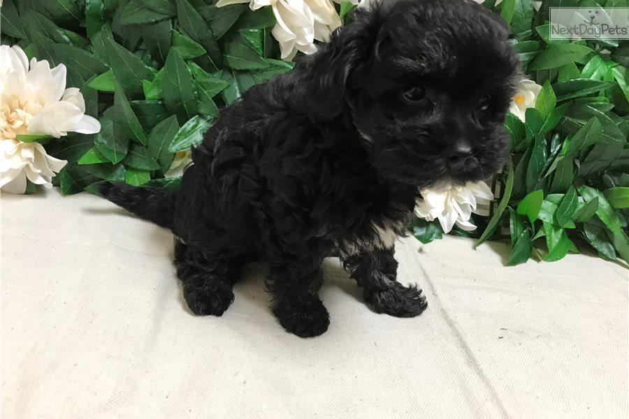 Ollie: Malti Poo - Maltipoo puppy for sale near Mississippi USA