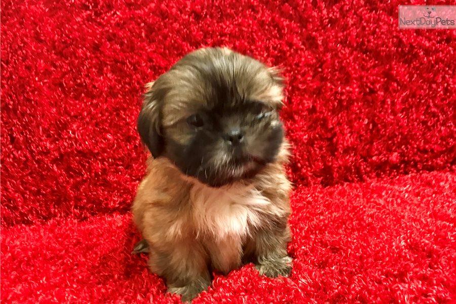 Rio Shih Tzu Puppy For Sale Near Hattiesburg Mississippi