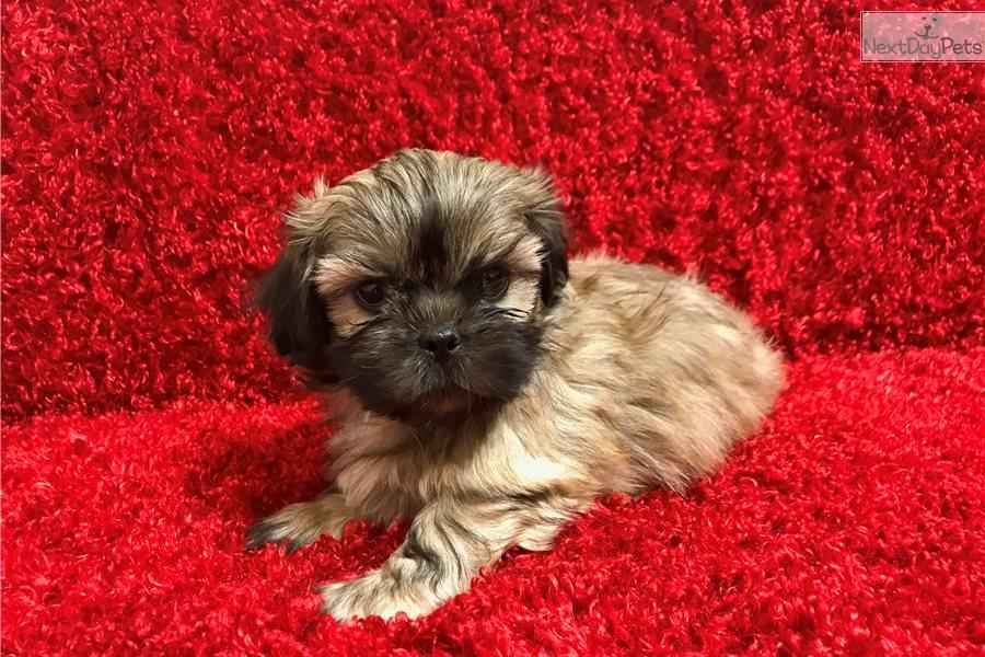 Ralphie Shih Tzu Puppy For Sale Near Hattiesburg Mississippi