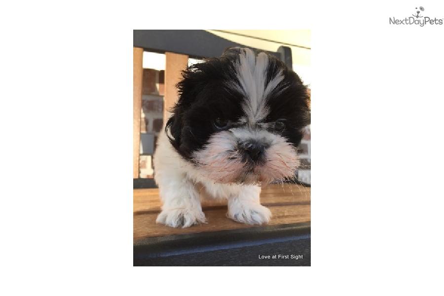 Nine Shih Tzu Puppy For Sale Near Hattiesburg Mississippi