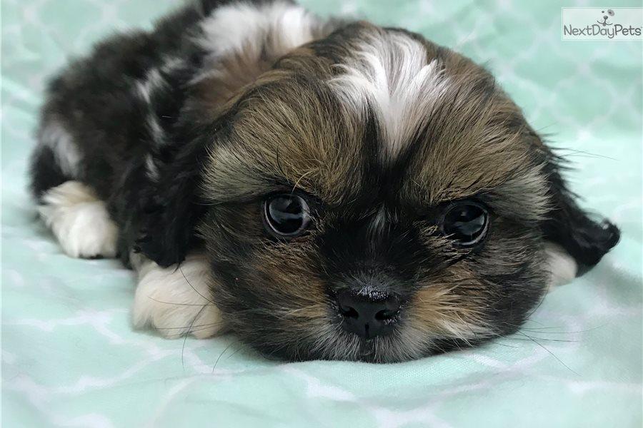 Smalls Shih Tzu Puppy For Sale Near Hattiesburg Mississippi